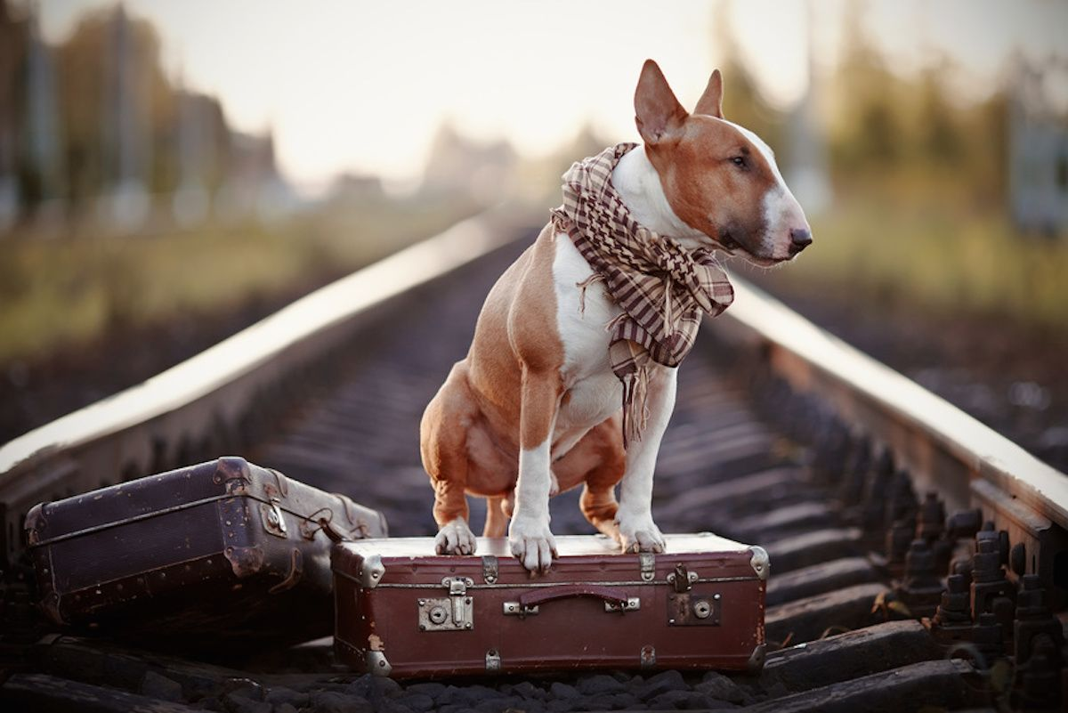 The bull terrier looks for the house. The dog waits for the owner. The lost dog. Bull terrier on the road. Dog on rails. Dog with suitcases.